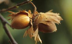Die Haselnuss hat's in sich – im wahrsten Sinne des Wortes. Die gesunden Nussfrüchte lassen sich in jedem Garten anbauen und kommen mit einem Minimum an Pflege aus. Hier finden Sie alle Infos – von der Pflanzung über den Schnitt bis zur Ernte.