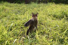 夕日に向かって歩くキジトラ猫の虎ノ介