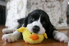 A Puppy and His Duck