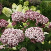 incrediball_blush_hydrangea_flowers - good in clay soils!