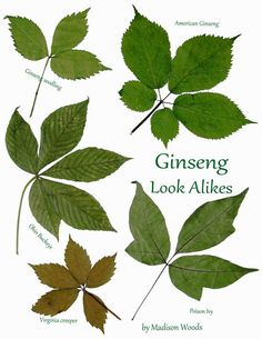 135 best ginseng images on pinterest forests jars and woodland forest plants that look like ginseng ginseng look alikes fandeluxe Gallery