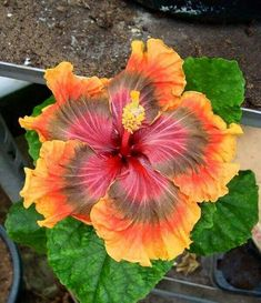 Hibiscus color hibiscus Flower garden hibiscus tree flores for flower potted plants Amazing Flowers, Flower Garden, Wonderful Flowers, Unusual Flowers, Love Flowers, Plants, Hibiscus Flowers, Hibiscus, Planting Flowers