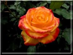 100 lat na imieniny.wmv - YouTube Make It Yourself, Rose, Flowers, Youtube, Pink, Roses, Royal Icing Flowers, Flower, Youtubers