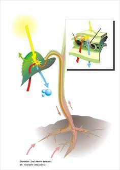 Fotosíntesis en hojas