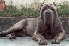 large breed dogs | 1249298925 Neapolitan Mastiff Huge and very smart dog