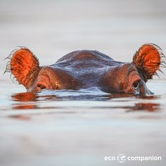 The Hippopotamus. Their name translates as river horse, unlike a horse they spend they spend huge amounts of time submerged. Even giving birth underwater.