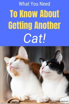 Should I get another cat as a playmate for my resident cat? This is a common question and in this article you'll find everything you need to know! #shouldigetanothercat #gettinganothercat #multicathome