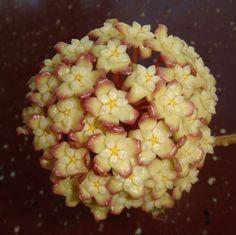 Hoya 'Jennifer' Cutting [SRQ 3170] - $20.00 : Buy Hoya Plants Online in Many Species from SRQ Hoyas Today!
