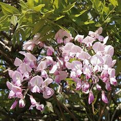 Glycine du Japon - Wisteria Floribunda Honbeni