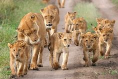Lion family taking a walk with the neighbors :)
