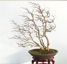 Elegantly windswept Crape Myrtle by Dave DeGroot Bonsai Forest, Bonsai Garden, Bonsai Trees, Potted Trees, Big Tree, Myrtle, Ikebana, Tropical, Gardening