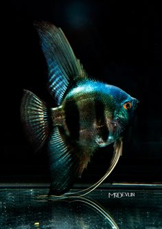 This is a gorgeous angelfish!!