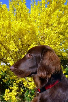 Magnum the Flat Coated Retriever Pictures 898190