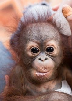 A touching picture shows an orphan orangutan being fed with a baby's bottle after it was rescued from a forest when its mother died. The three-month-old male, named Paijo by rescuers, is the youngest ape to be taken in by the International Animal Rescue Orangutan Centre (IAR) in Ketapang, Borneo