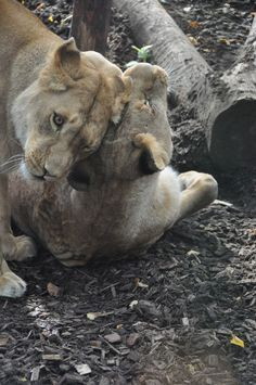 Two lionesses touch down in Britain after rescue from horrific German circus Uk News, Animal Rights, Animal Photography, Compassion, Panther, Britain, German, South Africa, Dogs