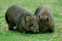 Wombats....and they have cool names too!