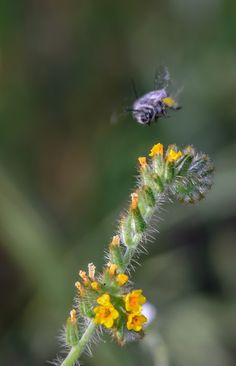 Wind Wolves:  Fiddle Neck Meets Bee by Wayne Wong on Capture Kern County // This was the only successful photograph of  a bee the whole day.  The bees were very fast around the poppies and my only chance was to capture one landing on a pre-focused spot.
