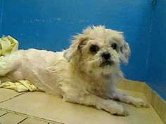 T.T – A0898526  **RETURNED 07/14/16**  NEUTERED MALE, BLACK / WHITE, SHIH TZU MIX, 9 yrs OWNER SUR – EVALUATE, NO HOLD Reason OWNER HOSP