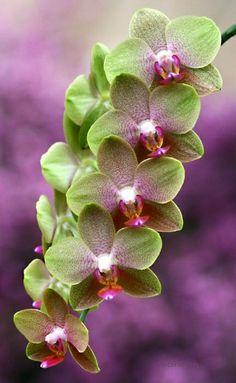 Orchidea * zelená