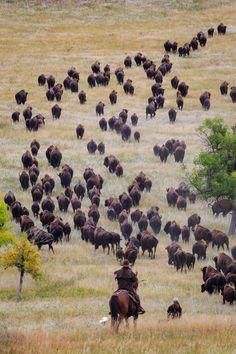 Bison Roundup by Kendra Koski Animal Bufalo, Chow Chow, Buffalo Animal, Cowboy Horse, Cowboy Pics, Cowboy Images, American Bison, Ranch Life, Le Far West