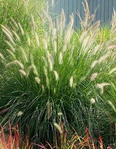 dwarf hamlen grass