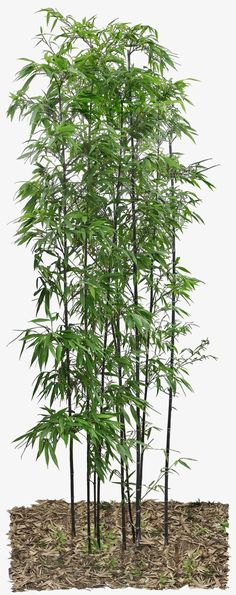 Bamboo leaves, Green, Plant, Bamboo PNG Image and Clipart Bamboo Bamboo, Bamboo Texture, Bamboo Leaves, Bamboo Tree, Bamboo Plants, Bamboo Landscape, Landscape Model, Landscape Architecture, Architecture Design