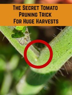 The Secret Tomato Pruning Trick For Huge Harvests , Pruning your tomato plants correctly is the key to huge harvests of deliciously sweet tomatoes. If you see one of these on your plant, here's what you. Growing Vegetables, Growing Plants, Growing Tomatoes, Growing Gardens, Dried Tomatoes, Pruning Tomato Plants, Pruning Basil, Caring For Tomato Plants, Tomato Plant Food