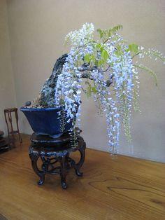 Wisteria Bonsai in Hiroshima Nurseries