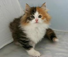 Norwegian Forest Cat   Norwegian Forest Cat Breed - Cat Pictures & Information LOVE this breed, got to have one some day