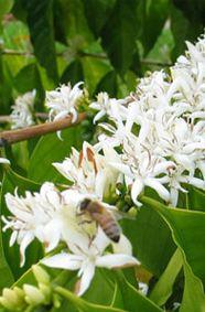 Flowering coffee plants at Espíritu Santo coffee plantation, Costa Rica Lust auf Kaffee? Den gibt´s bei uns http://schramms-kaffee.de/online-shop