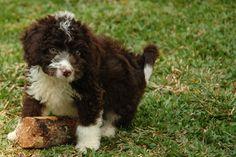 Brown Spanish Water Dog Puppies