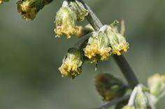 Artemisia ludoviciana (White Sagebrush, Gray Sagewort). Kendall Katwalk Hike.