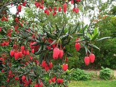 Rare Chilean Lantern Tree
