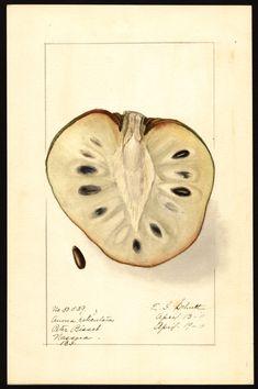 Artist:     Schutt, Ellen Isham, 1873-1955  Scientific name:     Annona reticulata  Common name:     custard apple  Physical description:     1 art original : col. ; 17 x 25 cm.  Specimen:     50539a  Year:     1911  Date created:     1911-04-19