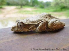 Frog, Foam NEst_Mkhuze_SA VI South Africa Wildlife, Nest, Animals, Nest Box, Animales, Animaux, Animal, Animais
