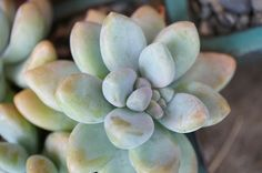 Sedeveria 'blue giant' • Succulent • hardy to 15 degrees, drought tolerant,full to partial sun