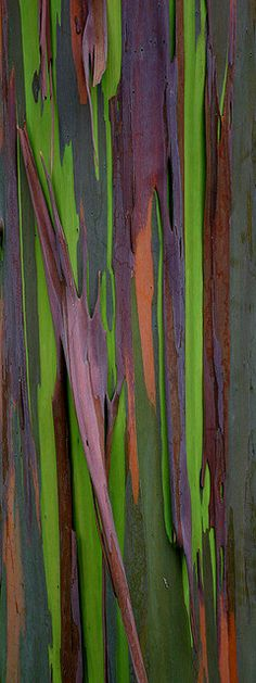 Rainbow Eucalyptus by Chad Podoski