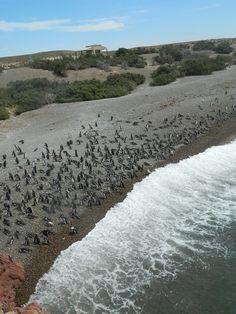 Punta Tombo, reserva dos pinguinos. São milhares! Argentina, Janeiro 2014.