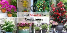 44 Best Shrubs for Containers | Best Container Gardening Plants