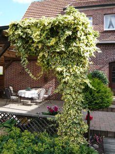 08: Hedera colchica 'Dentata Variegata' / Buntlaubiger Kolchischer Efeu – Kletterpflanze oder auch Kriechstrauch, der buschig und dichtverzweigt rel. schnell wächst. Wird bis zu 6m hoch und bildet im  September bis Oktober gelbgrüne, traubenartige Blütenstände