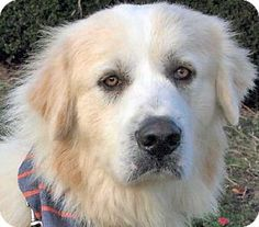 11/8/14 Beacon, NY - Great Pyrenees/Golden Retriever Mix. Meet Chance - new!, a dog for adoption. http://www.adoptapet.com/pet/11891890-beacon-new-york-great-pyrenees-mix