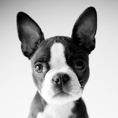 Boston Terrier--I think labs are the cutest dogs ever but this little guy is also pretty damn cute.