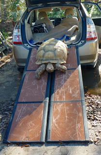 Sulcata ramp to get tortoise in and out of car.  Frankie Tortoise Tails: The Levitation Solution