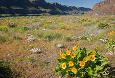 Arrowleaf balsamroot, phlox and whitle lupine blooming in a meadow in the Lower Grand Coulee along the shores of Soap Lake. Soap Lake, Lake Photos, Spring Photography, Bloom, Photo And Video, Mountains, Nature, Travel, Naturaleza