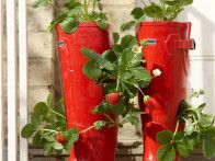 Old red rubber boots are cleverly filled with trailing strawberry plants creating a delightful patio summer planter.  Click here  to learn how to make your own.