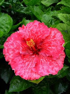 'Tahitian Misty Red' hibiscus
