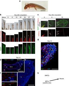A developmentally regulated switch from stem cells to dedifferentiation for limb muscle regeneration in newts