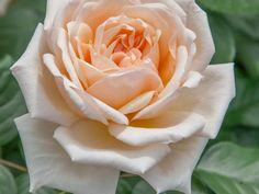 Apricots n' Cream™ is a vigorous grower with a pastel flower color of ivory to light apricot that contrasts well with the excellent dark green and glossy foliage. | Star Roses & Plants