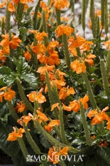 Monrovia's Orange Marmalade Firecracker Flower details and information. Learn more about Monrovia plants and best practices for best possible plant performance.