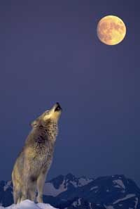 Wolf and the moon --- I feel  like howling at the moon sometimes...